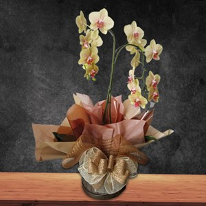 Orquídeas Phalaenopsis Duas Hastes