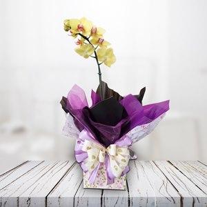 Orquidea Phalaenópolis colorida - variada